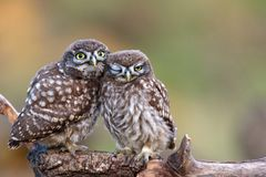 Two little owls Athene noctua sitting on a stick pressed against each other. Royalty Free Stock Photography