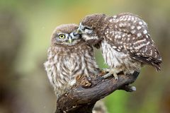 Two little owls Athene noctua sitting on a stick pressed against each other. Stock Photo
