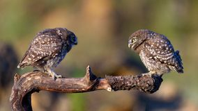 Two little owls Athene noctua sitting on a stick Royalty Free Stock Images