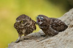 Two little owls sitting on a slope Royalty Free Stock Images