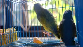Two little parrots playing in cage together. Two little parrots playing together inside blue cage background stock video footage