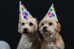 Two party dogs. Two little party dogs in the studio with party hats on the head Stock Photos