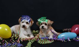 Two little dogs portrait. Two little party dogs in the studio Royalty Free Stock Photo