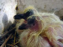 Two little pigeon. New born pigeon sleeping stock photography