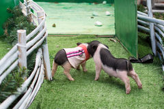 Two little piglets fighting Stock Photography