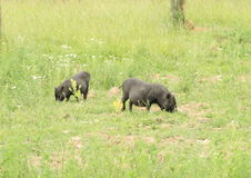 Two little pigs Stock Images