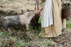 Two little Pigs eating being fed. Two little Pigs eating their meal bing fed by hand royalty free stock images