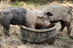 Two little Pigs eating food. Royalty Free Stock Photos