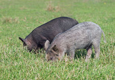 Two little pigs  on a lawn Stock Images