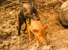 Two little pigs. Stock Image