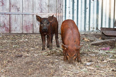 Two little pigs. Two little pigs in the yard Stock Photography