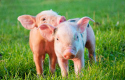 Two little pigs Royalty Free Stock Photos