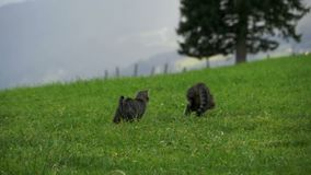 Two Little Playful Gray Cats Play and Run on a Green Grass in the Mountains of Austria. Slow Motion stock footage
