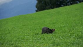 Two Little Playful Gray Cats Play and Run on a Green Grass in the Mountains of Austria. Slow Motion stock video footage