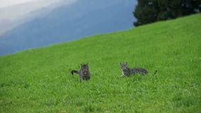 Two Little Playful Gray Cats Play and Run on a Green Meadow in the Mountains of Austria. Slow Motion. In 96 fps. Kittens on a beautiful clipped lawn on a hill stock footage