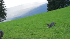 Two Little Playful Gray Cats Play and Run on a Green Meadow in the Mountains of Austria. Slow Motion. In 96 fps. Kittens on a beautiful clipped lawn on a hill stock video