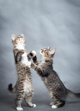 Two little playful kittens Stock Photo