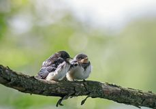 Little plump funny chicks of the village The swallows sit side by side together on a branch and wait for the parents royalty free stock image