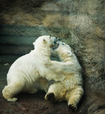Two little Polar Bear Royalty Free Stock Images