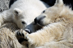 Two little polar bear cubs playing royalty free stock photography