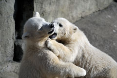 Two little polar bear cubs playing Royalty Free Stock Image
