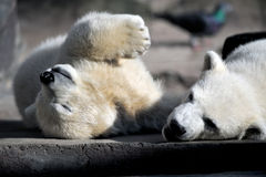 Two little polar bear cubs playing Stock Photo