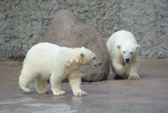 Two little polar bears Royalty Free Stock Images