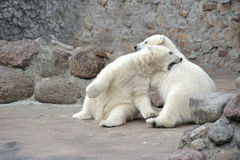 Two little polar bears fighting Stock Photo