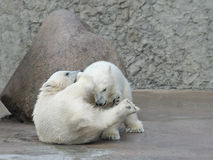Two little polar bears fighting Stock Photos