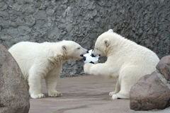 Two little polar bears play soccer royalty free stock photo