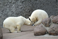 Two little polar bears play soccer Royalty Free Stock Image
