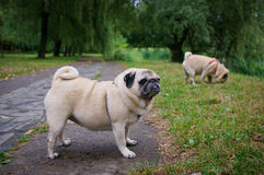 Two little pugs walking outdoors. Selective focus (on a pug with another pug out of focus in background stock photos
