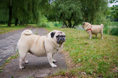 Two little pugs walking outdoors. Selective focus (on a pug with another pug out of focus in background stock photo