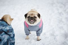 Two little pugs walking Royalty Free Stock Images