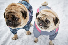 Two little pugs in winter Royalty Free Stock Photos