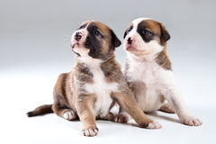 Two little puppies Stock Photos