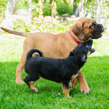 Two little puppies Stock Image