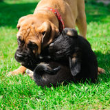 Two little puppies Stock Photo