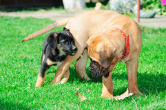 Two little puppies Royalty Free Stock Photography