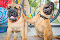 Two little puppies. Bullmastiff and shar pei. fun to play Royalty Free Stock Images