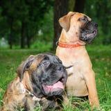 Two little puppies Bullmastiff Stock Photography