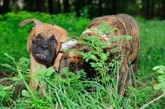Two little puppies Bullmastiff Stock Images