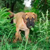 Two little puppies Bullmastiff Stock Photography