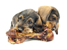 Two little puppies chewing a huge bone. Royalty Free Stock Photography