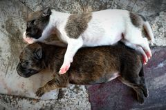 Two little puppies Cute is sleeping. royalty free stock image
