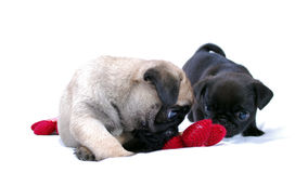 Two little puppies Mopsa play with a knitted red flower. On a white background Stock Photo