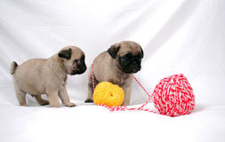 Two little puppies Mopsa play with a knitted red flower. On a white background Stock Photography