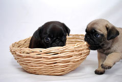 Two little puppies Mopsa play in a wattled basket Royalty Free Stock Photos
