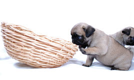 Two little puppies Mopsa play with a wattled basket Royalty Free Stock Photos