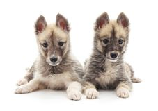 Two little puppies. Stock Photography